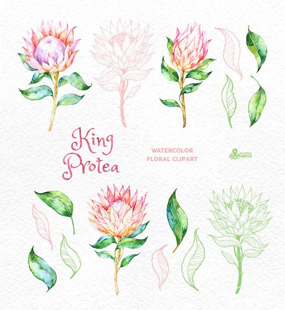 King Protea. Watercolor floral Clipart wedding от OctopusArtis