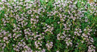 Tomillo, planta medicinal para infecciones respiratorias