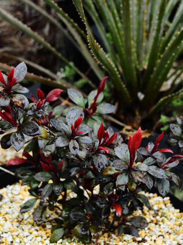 ロドデンドロン 赤葉ツツジ Rhododendron cv. – ACID NATURE 乙庭