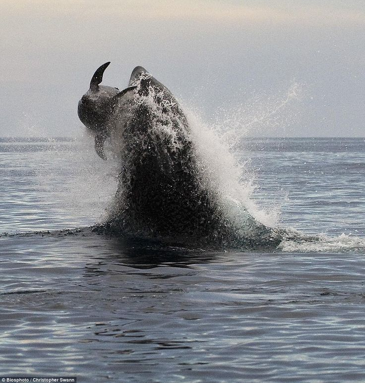 Best Whales Dolphins Images On Pinterest Ocean Life - Rare moment 40 ton whale jumps completely out of the water