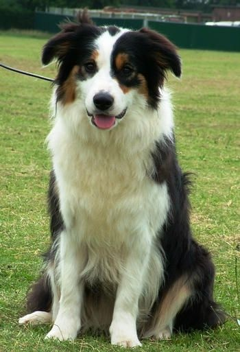 Border collies are my favorite!