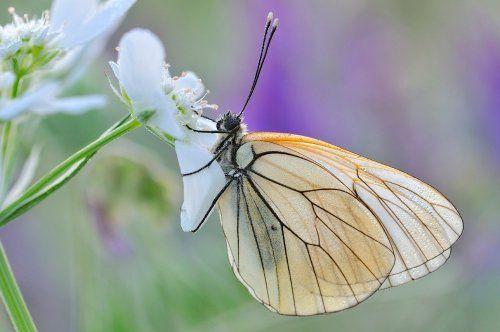 Hoe fotografeer je vlinders?  Een beetje tegenlicht en de bloemen op de achtergrond maken deze opname tot een mooi plaatje. (f/5,6, 1/100, ISO 250, 200 mm macro)