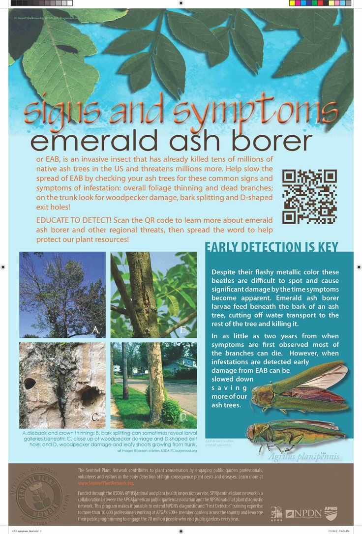 Tree borers amp bark beetles arborx tree health care - Eab Signs And Symptoms Flyer