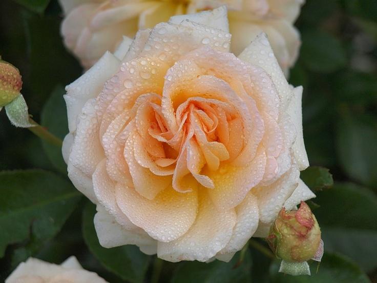 Rose Angie/Delbard