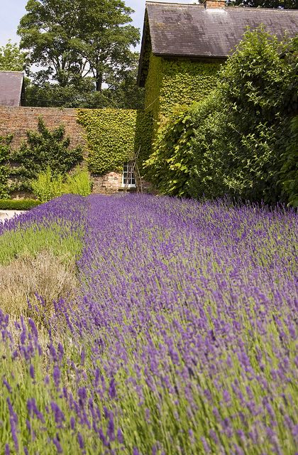 lavender- Walled Garden Beningbrough Hall