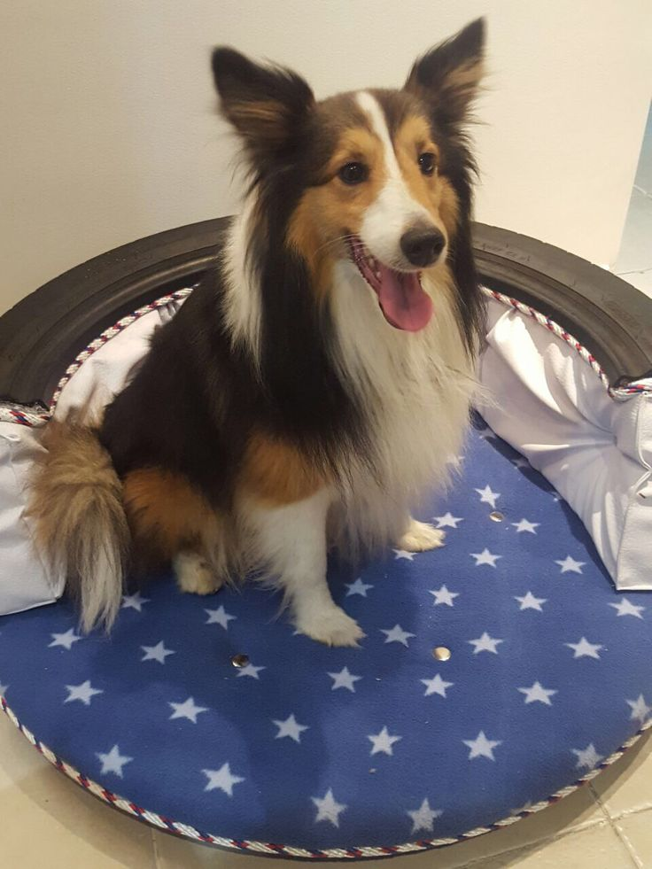 Tired Dog Bed - cama para perro con Llanta - #Tired #dog #bed - Odi pastor shetland- sheltie - Colombia