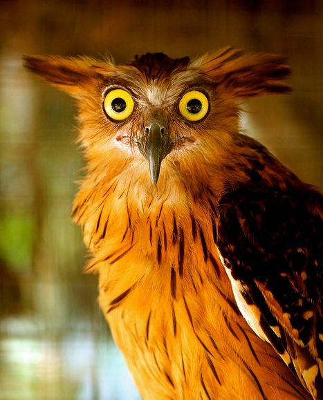 Buffy fish-owl  |  Photo by Wisnu Anugrah  http://www.flickr.com/photos/anuwisnu/8009232066/