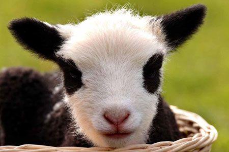LambAwesome Animal, Baby Lambs, Funny Lambs, Pandas Lambs, Pandas Bears, Funny Animal, Bears Lambs, Animal Photos, Animal Food