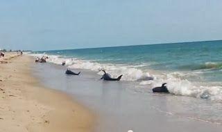 TERRA REAL TIME: Decine di balene pilota alla deriva sulle spiagge della Florida