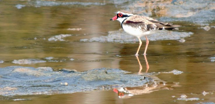 A Black-fronted Dotterel takes advantage of a recent high tide on a Hays Inlet saltmarsh