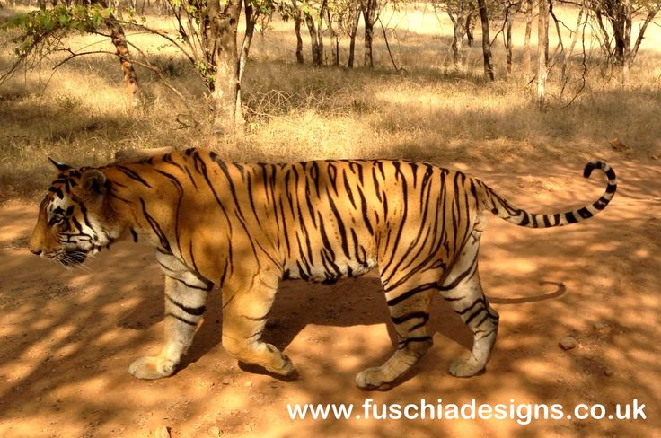 An amazing experience seeing a Bengal tiger in the jungle at the Ranthombore National Park.