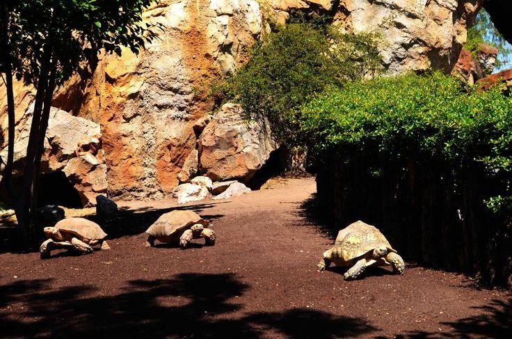 """BIOPARC Valencia 9ª Convención Europea de especialistas en tortugas de agua dulce  BIOPARC y la Sociedad Herpetológica Valenciana se unen para traer a la ciudad la 9ª Convención Europea de especialistas en tortugas de agua dulce (""""9th EFTB"""") los días 17 y 18 de junio. El parque dispone de varias instalaciones de tortugas terrestres y aloja a la más grande de África y una de las mayores del mundo. La 9ª Convención Europea de especialistas en tortugas de agua dulce (""""9th EFTB"""") se celeb..."""