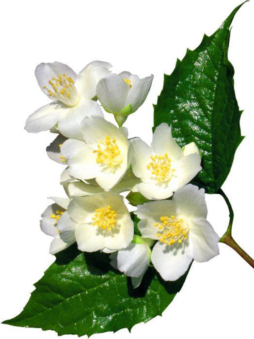 Цветы белые картинки для фотошопа