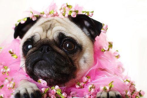 Pug Princess!! Beautiful:)