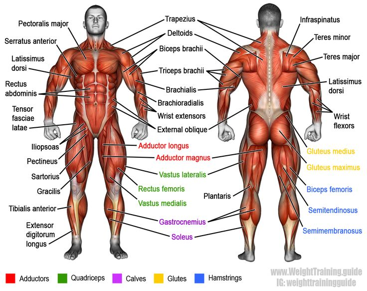 The muscular system, illustrating most of the anterior and posterior superficial muscles of the human body. Visit site to learn more.