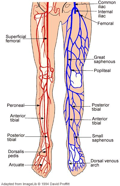 Arteries in the legs anatomy