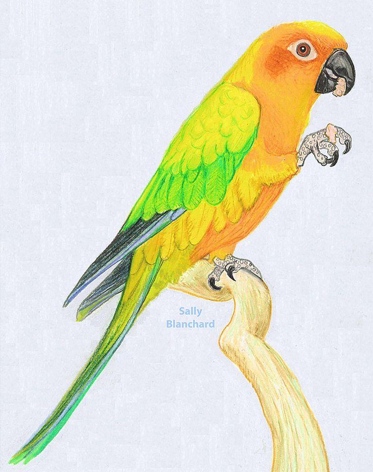 Sally Blanchard Prismacolor Pencil