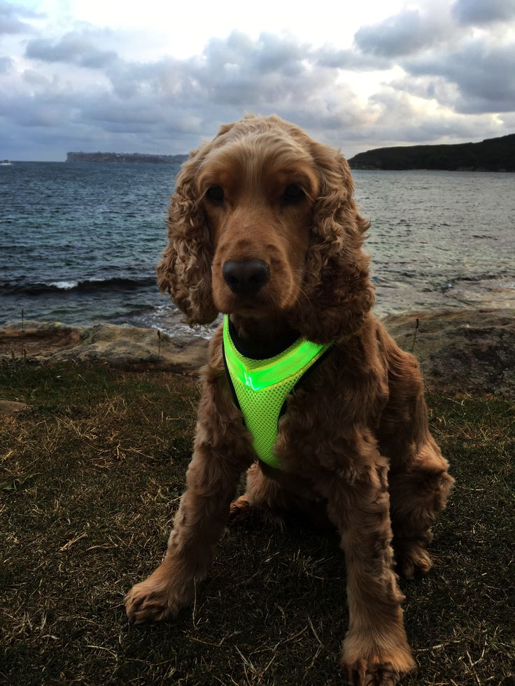 Super Cute! The pawsome new LED dog Harness is being modeled very beautifully by Lexi! Hot stuff. Lights up at night so other road uses can see your dog in their harness safety vest.