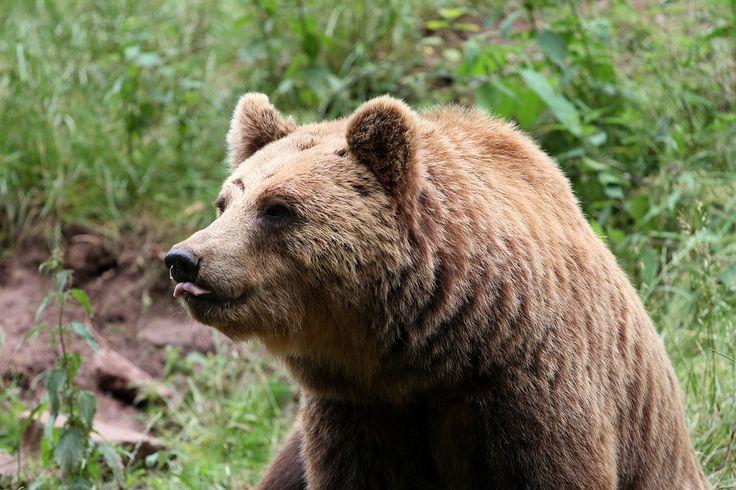 Cada vez más vegetariano el oso grizzly cambia su clásico menú de salmón por bayas - Montevideo Portal