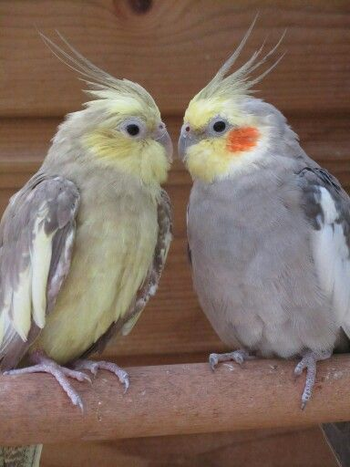 17 Best images about Pet Birds on Pinterest | Love birds ...
