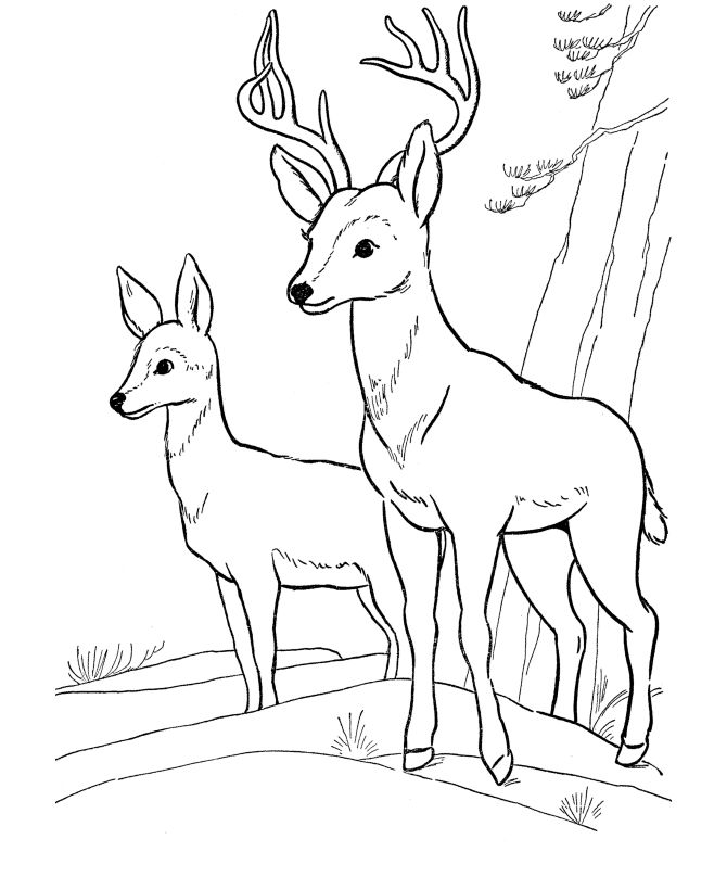 Deer Coloring Page | Wild Animal Buck Deer Coloring Pages and Kids ...