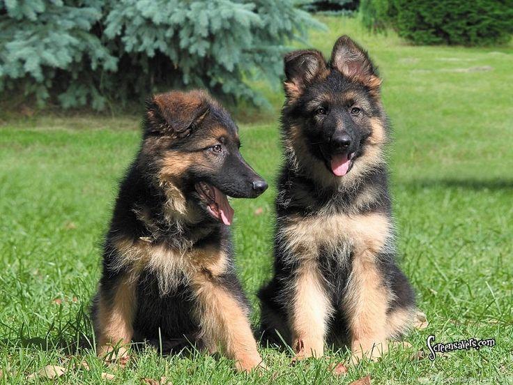 Buy KCI Registered German Shepherd Puppy In India