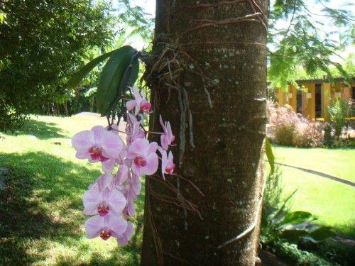 Como cultivar orquídea em árvore 2