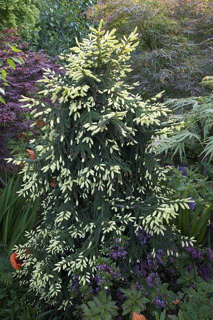 Picea Orientalis 'Aurea Spicata' (Aurea Oriental spruce) with new growth   Flickr - Photo Sharing!