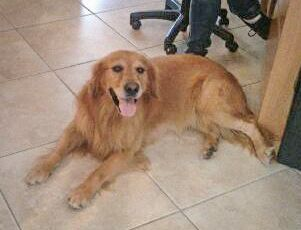 Golden Retriever dog for Adoption in Naples, FL. ADN-425712 on PuppyFinder.com Gender: Male. Age: Adult