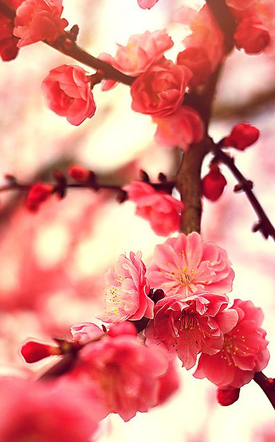 Cherry Blossoms | Flickr : partage de photos !