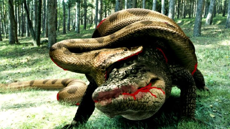 Anaconda Vs Crocodile - Python Vs Alligator - Python Vs Crocodile - Gian...