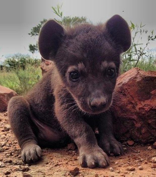 La hyène : ce bébé hyène vous fera forcément aimer beaucoup plus cet animal. Toutes les hyènes ne sont pas aussi méchantes que celles du Roi Lion.