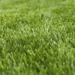 Best deep shade grasses