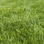 Best deep shade grasses