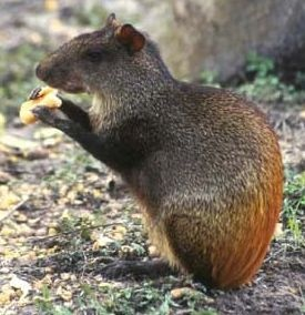 The Agouti is a small mammal  from Central and South American rain forests that looks a bit like a really large guinea pig. Brazil nut trees heavily depend on the large rodent to disperse the seeds once they drop. Bearing large teeth, the Agouti has the only teeth in the entire Amazon capable of opening the seed pods.