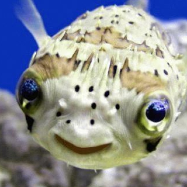 32 best images about seahorse and pufferfish on for Puffer fish diet