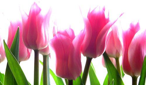 A dísznövény-kereskedelem fejlődésének egyik nagy előnye - amellett, hogy egyre különlegesebb fajtákhoz is hozzájuthatunk, - talán az, hogy bizonyos virágok, így a hagymások virágzási idejét is befolyásolhatjuk. A hagymás virágok természetes virágzási periódusa kora tavasszal kezdődik, és nyáron a legkésőbb virágzó fajok is elnyílnak. Ám napjainkban már arra is lehetőség van, hogy karácsony, illetve újév idején hajtatott jácint kerüljön az ablakpárkányra.