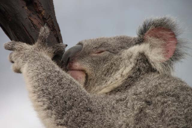 Sleepy koala at Lone Pine Koala Sanctuary, Queensland, Australia