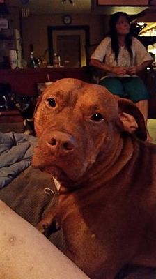 Pictures of Ozzy(CP) a Pit Bull Terrier for adoption in Dickinson, TX who needs a loving home.