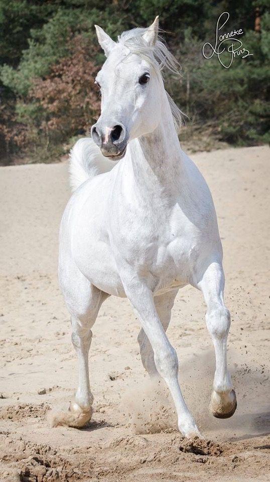 Beautiful arabian horse !