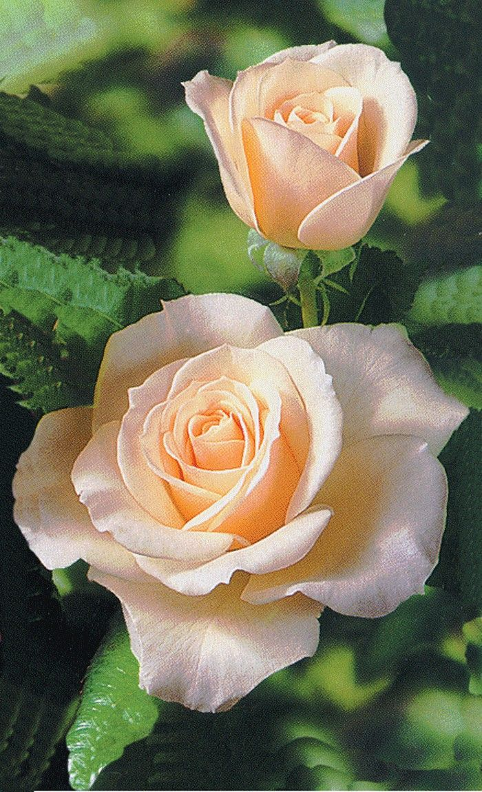 'French Lace' ~  Floribunda Rose