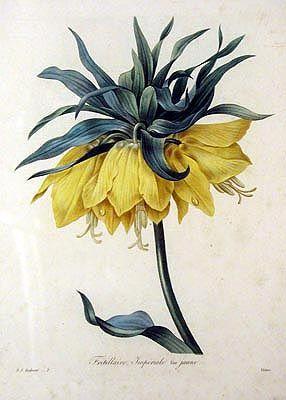 Pierre-Joseph Redouté — Fritillaire Imperiale.  Choix des Plus Belles Fleurs  Published:  Paris  1827-1833 Medium:  Hand-colored engravings Dimensions:  13 and 1/8 inches by 9 and 9/16 inches