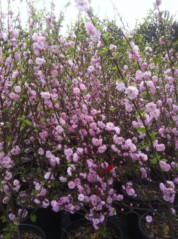 17 best ideas about trees with pink flowers on pinterest for Tall flowering shrubs