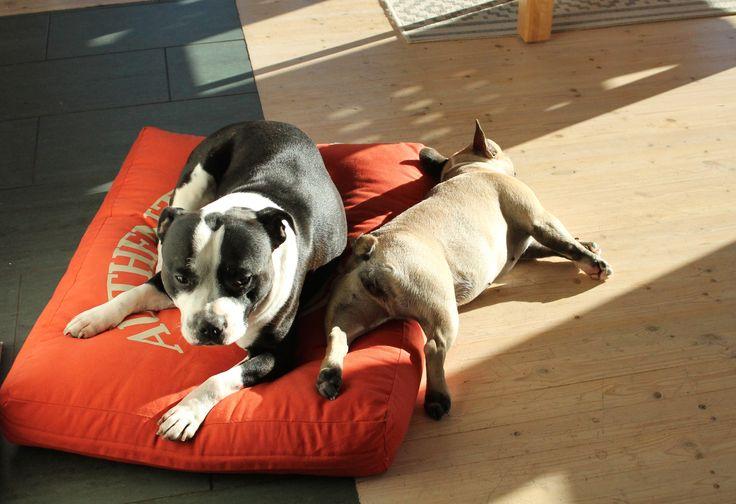 Ritva knowa how to relax ;)  #frenchbulldog #sun #staffordshirenbullterrier #design