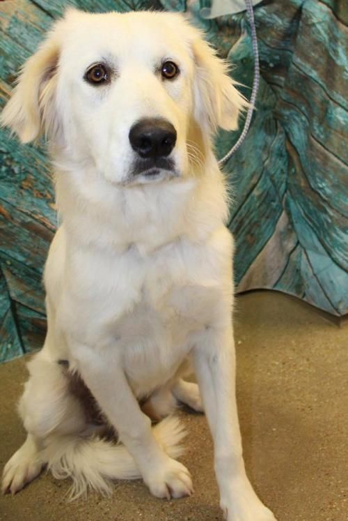 Adopt Opal Luna 0733 On Female Golden Retriever Golden