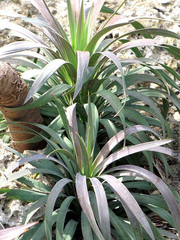 Soft Leaf Yucca Gloriosa #YUC-GLO