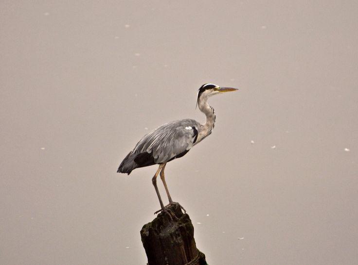 A grey heron waiting for breakfast.