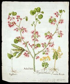 Arbor Iudae [Judas tree]; Unifolium [False lily-of-the-lvalley]; Lunaria Botrytis [Moonwort fern]; Hepatica Palustris [Golden saxifrage]. Basil BESLER.