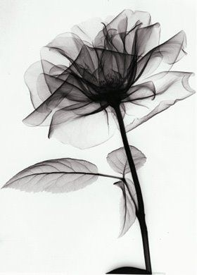 Flower X-Ray