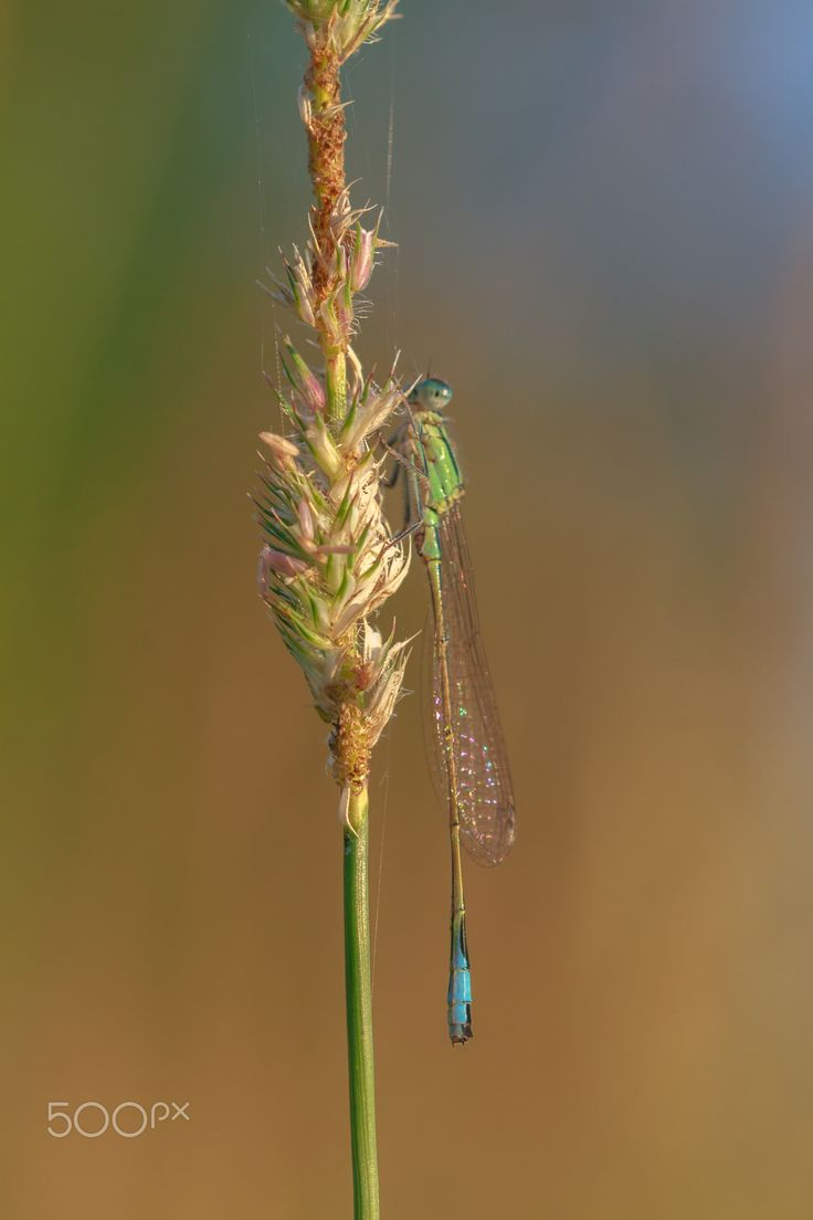 Damselfly - Damselflies are similar to dragonflies, which constitute the other odonatan suborder, Anisoptera, but are smaller, have slimmer bodies, and most species fold the wings along the body when at rest.